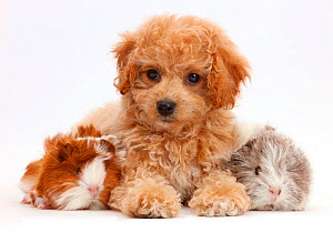 Cavachondoodle puppy and Guinea pigs. NOT AVAILABLE FOR BOOK USE  -  Mark Taylor