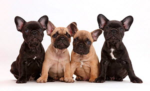 Four French Bulldog puppies, age 7 weeks.  -  Mark Taylor