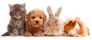Grey kitten, Goldendoodle puppy, rabbit and Guinea pig. NOT AVAILABLE FOR BOOK USE - Mark Taylor