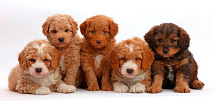 Five F1b Toy Goldendoodle puppies, age 7 weeks.  -  Mark Taylor