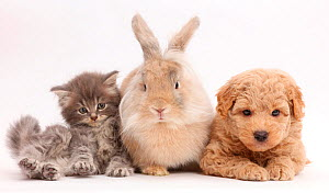 Grey kitten, Goldendoodle puppy and rabbit. NOT AVAILABLE FOR BOOK USE  -  Mark Taylor