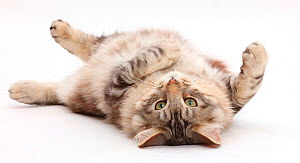 Silver tabby cat, Loki, age 7 months, rolling on his back.  -  Mark Taylor
