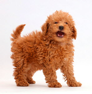 Red Toy labradoodle puppy standing. - Mark Taylor