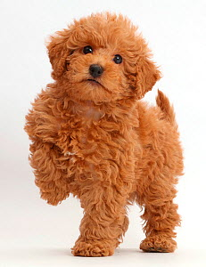 Red Toy labradoodle puppy standing with paw raised. - Mark Taylor