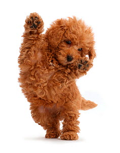 Red Toy labradoodle puppy jumping up. - Mark Taylor