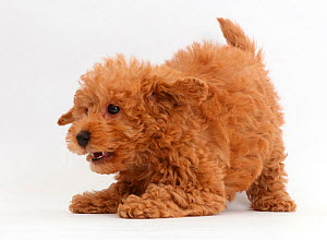 Red Toy labradoodle puppy in play-bow. - Mark Taylor
