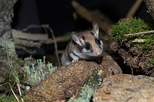 Garden dormouse (Eliomys quercinus) adult, looking over a rock on mossy ground, captive, Germany, September. - Kerstin  Hinze