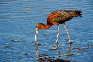 Glossy ibis (Plegadis falcinellus) in breeding plumage, feeding in the Los Angeles River, California, USA. June.  -  David Welling