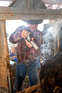 Barry Crago uses an electric branding iron to mark his cattle on the Willow Creek Ranch, Wyoming, USA, September 2016. Model released.  -  Kirkendall-Spring