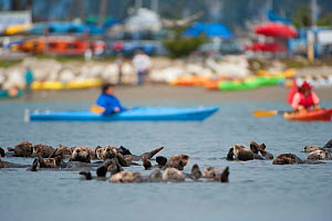 Resting Sea otters (Enhydra lutris) with kayakers and beach in the background, California, USA, June. - Inaki  Relanzon