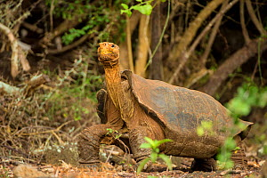 Espanola Giant tortoise (Geochelone hoodensis) showing saddle-shaped shell, previously extinct on Espanola Island, it is being reintroduced there by the Charles Darwin Research Station's Breeding Cent...  -  Inaki  Relanzon