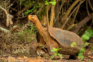 Espanola Giant tortoise (Geochelone hoodensis) showing saddle-shaped shell, previously extinct on Espanola Island, it is being reintroduced by the Charles Darwin Research Station's Breeding Center, Sa...  -  Inaki  Relanzon