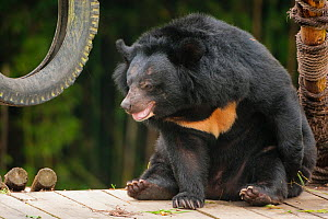 Moon bear (Ursus thibetanus) in Animals Asia Bear Sanctuary after being rescued from a bear bile farm. Captive, China. September.  -  Inaki  Relanzon