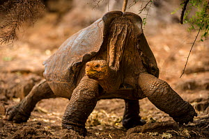 Espanola giant tortoise (Geochelone hoodensis) showing saddle-shaped shell. Previously extinct on Espanola Island, they are now being reintroduced from the Charles Darwin Research Station and Breeding...  -  Inaki  Relanzon