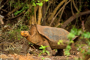 Espanola giant tortoise (Geochelone hoodensis) showing saddle-shaped shell. Previously extinct on Espanola Island, they are now being reintroduced  from the Charles Darwin Research Station and Breedin...  -  Inaki  Relanzon