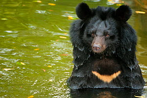 RF - Moon bear (Ursus thibetanus) swimming in Animals Asia Bear Sanctuary after being rescued from a bear bile farm. Bile is extracted from their liver to be used in traditional Chinese medicine, Chin...  -  Inaki  Relanzon