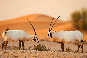 RF - Two Arabian oryx (Oryx leucoryx) in the desert, Dubai, UAE, November. (This image may be licensed either as rights managed or royalty free.) - Inaki  Relanzon