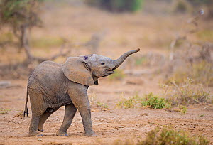 RF - African elephant (Loxodonta africana) calf walking with trunk raised, Amboseli National Park, Kenya, August. (This image may be licensed either as rights managed or royalty free.) - Inaki  Relanzon