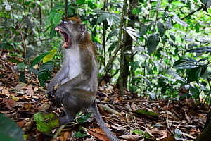 Long-tailed macaque (Macaca fascicularis) yawning, sitting on the forest floor, Gunung Leuser National Park, UNESCO World Heritage site, November.  -  Enrique Lopez-Tapia