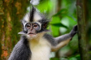 Thomas's Langur (Presbytis thomasi), animal endemic to northern Sumatra. These primates have relatively long arms and legs, adapted for an acrobatic life in the crowns of trees. Gunung Leuser Nati...  -  Enrique Lopez-Tapia