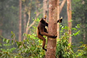 Agile gibbon (Hylobates agilis) carrying bananas collected from a feeding platform climbing up a tree, Tanjung Puting National Park, Kalimantan, Borneo, Indonesia, October. - Enrique Lopez-Tapia