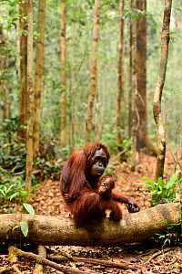 Bornean orangutan (Pongo pygmaeus wurmbii) female holding infant, sitting on a log on the forest floor, Tanjung Puting National Park, Borneo, Central Kalimantan, Indonesia, October. Completed Review  -  Enrique Lopez-Tapia