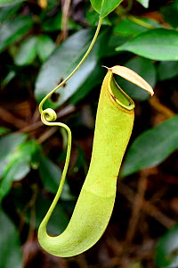 Carnivorous pitcher plant (Nepenthes reinwardtiana), Tanjung Puting National Park, Kalimantan, Borneo, Indonesia, October. - Enrique Lopez-Tapia