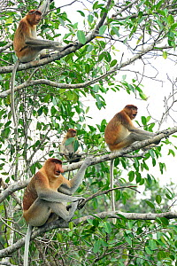 Proboscis monkey (Nasalis larvatus) male and females sitting in a tree, Tanjung Puting National Park, Borneo-Kalimatan, Indonesia. October.  -  Enrique Lopez-Tapia