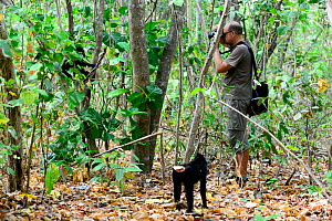 Black crested macaque (Macaca nigra) approaching a tourist photographing another macaque in a tree, Tangkoko National Park, Sulawesi, Indonesia, October. Sequence 1 of 4. - Enrique Lopez-Tapia