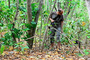 Tourist watching a Black crested macaque (Macaca nigra) walking away after it jumped on him, Tangkoko National Park, Sulawesi, Indonesia, October. Sequence 4 of 4. - Enrique Lopez-Tapia