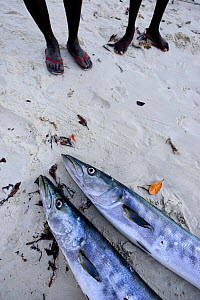 Great barracuda (Sphyraena barracuda), two displayed on beach with fishermen standing beyond, Orango Island, Orango Islands National Park, Bijagos UNESCO Biosphere Reserve, Guinea Bissau, February 201...  -  Enrique Lopez-Tapia