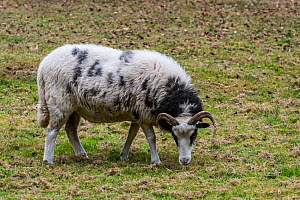 Heidschnucke ewe, moorland sheep breed from northern Germany, grazing in field, October. - Philippe Clement