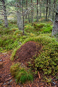 Old overgrown anthill of Red wood ants (Formica rufa) made of conifer needles in woodland, Abernethy Forest, Scotland, UK, September 2016.  -  Philippe Clement