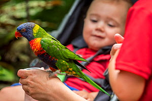 Baby looking at tame Rainbow lorikeet / Swainson's Lorikeet (Trichoglossus moluccanus) - native to Australia - being fed by hand in zoo.  -  Philippe Clement