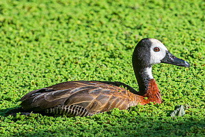 White-faced whistling duck (Dendrocygna viduata) swimming in pond, native to Africa and South America. Captive.  -  Philippe Clement