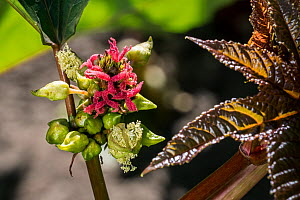 Female flowers of Castorbean / Castor-oil-plant (Ricinus communis) native to the southeastern Mediterranean Basin, Eastern Africa, and India, July. - Philippe Clement