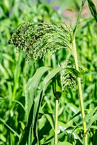 Proso millet / broomcorn millet / common millet / broomtail millet (Panicum miliaceum) in summer, Belgium, July.  -  Philippe Clement