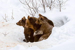 Brown bear (Ursus arctos arctos) female and two cubs, aged 1 year, emerging from den in winter, Bavarian Forest, Germany, captive, January.  -  Philippe Clement