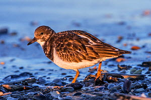 Ruddy turnstone (Arenaria interpres) in non-breeding plumage foraging among shells on beach along the North Sea coast in autumn, Belgium, November  -  Philippe Clement