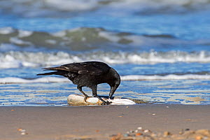Scavenging Carrion crow (Corvus corone) feeding on dead European conger eel (Conger conger) washed ashore on beach along the North Sea coast, Belgium, November. - Philippe Clement