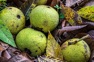 Fallen green husks / walnuts of the Eastern black walnut (Juglans nigra) tree on the forest floor, native to eastern North America, Belgium, November.  -  Philippe Clement