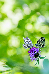RF - Marbled white butterfly (Melanargia galathea) two feeding on knapweed with bokeh effect in leaves, Aosta Valley, Gran Paradiso National Park, Italy. (This image may be licensed either as rights m... - Edwin Giesbers