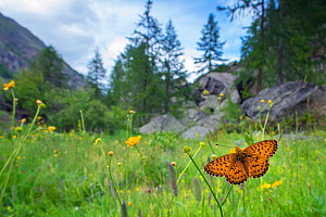 RF - Titania's fritillary butterfly (Boloria titania) in mountain alpine meadow habitat, Aosta Valley, Gran Paradiso National Park, Italy. (This image may be licensed either as rights managed or royal...  -  Edwin Giesbers