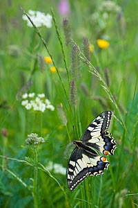 RF - Common swallowtail butterfly (Papilio machaon) Aosta Valley, Gran Paradiso National Park, Italy. (This image may be licensed either as rights managed or royalty free.) - Edwin Giesbers