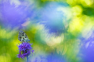RF - Marbled white butterfly (Melanargia galathea) on knapweed with soft focus flowers, Aosta Valley, Gran Paradiso National Park, Italy. (This image may be licensed either as rights managed or royalt... - Edwin Giesbers