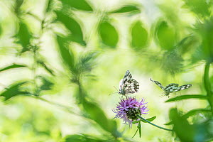 RF - Marbled white butterfly (Melanargia galathea) on knapweed, with soft focus leaves, Aosta Valley, Gran Paradiso National Park, Italy. (This image may be licensed either as rights managed or royalt...  -  Edwin Giesbers