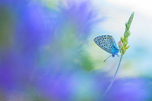RF - Escher's blue butterfly (Polyommatus escheri) on grass,  with soft focus blue flowers, Aosta Valley, Gran Paradiso National Park, Italy. (This image may be licensed either as rights managed or ro...  -  Edwin Giesbers