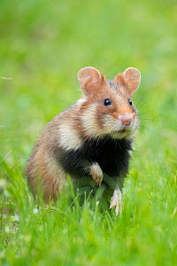 RF - European hamster (Cricetus cricetus)   Austria. (This image may be licensed either as rights managed or royalty free.)  -  Edwin Giesbers