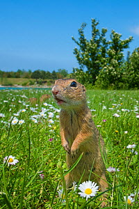 RF - European ground squirrel / Souslik (Spermophilus citellus) in grass with daisies, Gerasdorf, Austria. April. (This image may be licensed either as rights managed or royalty free.)  -  Edwin Giesbers