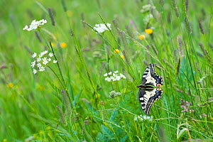 Common swallowtail butterfly (Papilio machaon) Aosta Valley, Gran Paradiso National Park, Italy. - Edwin Giesbers